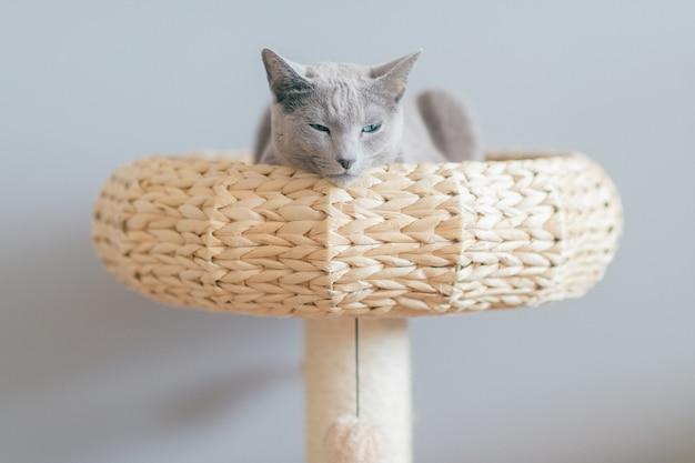 Schönes kätzchen im bett liegend. russische blaue katze auf grauem hintergrund.