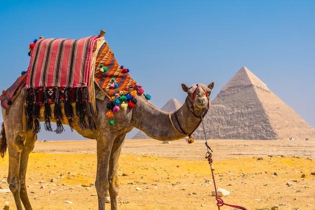 Schönes kamel in den pyramiden von gizeh