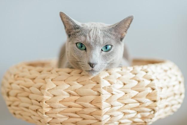 Schönes kleines kätzchen, das im bett ruht. innenhausporträt der reinrassigen entzückenden katze, die mit lustigem gesichtsausdruck im katzenhaus auf grauem hintergrund liegt. russische blaue katze, die im strohkorb entspannt