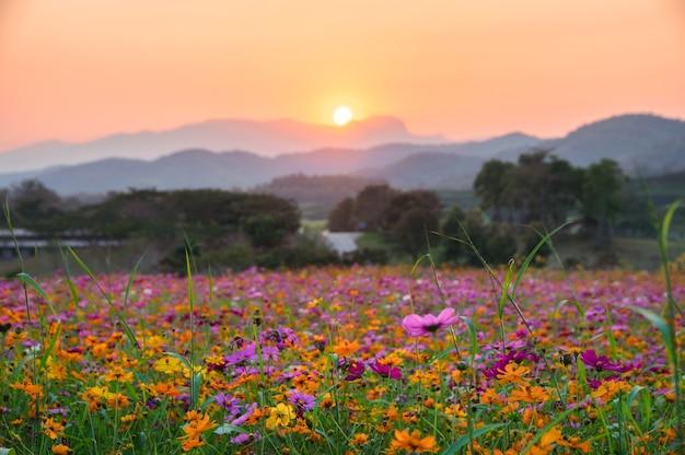 Schönes kosmosblumenfeld mit sonnenuntergang auf dem berg in der landschaft