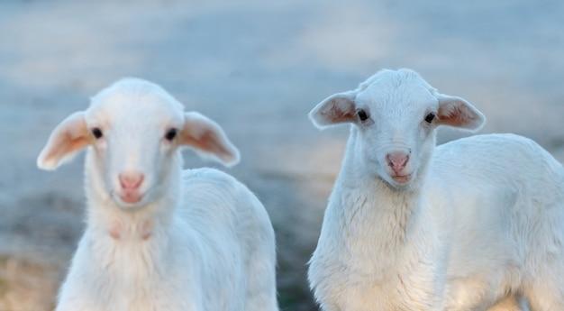 Schönes lamm in der natur