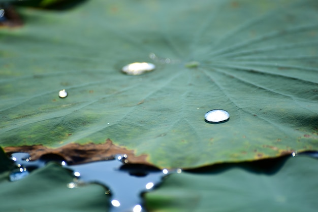 Schönes lotusblatt, das mit sonnenuntergang reflektiert.