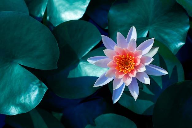 Schönes lotusblatt in der nähe des teiches reiner natürlicher hintergrund rote lotuslotosblume auf dem wasser