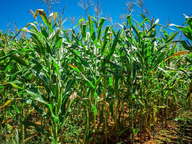 Schönes maisfeld, maisplantage und blauer himmel.