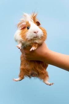 Schönes meerschweinchen-haustierportrait