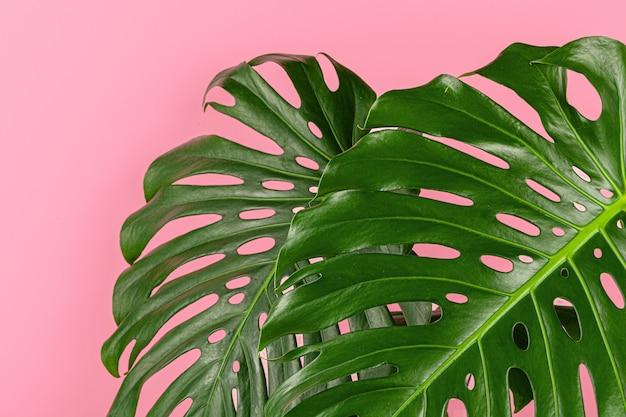 Schönes monstera-blatt auf einem rosa hintergrund. hintergrund