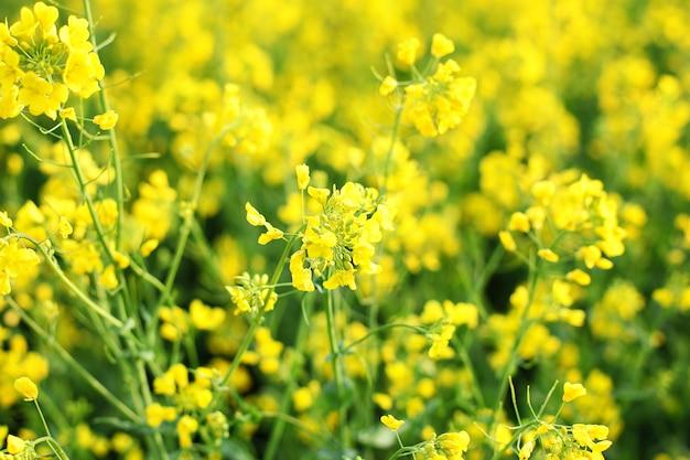 Schönes nahaufnahmebild von rapsblumen im frühjahr. gelber und grüner raps blüht sommer. rapsfeld, blühende rapsblüten schließen. landwirtschaft, vegetation, landschaft