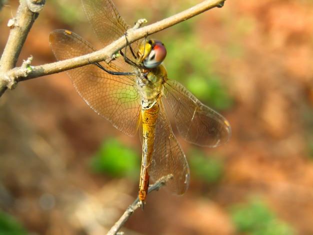 Schönes nahaufnahmefoto der orange libelle hockt auf der niederlassung des baums im sommer