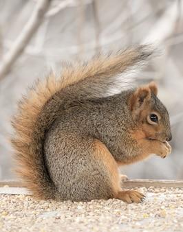 Schönes niedliches fuchs-eichhörnchen, das von selbst heraushängt