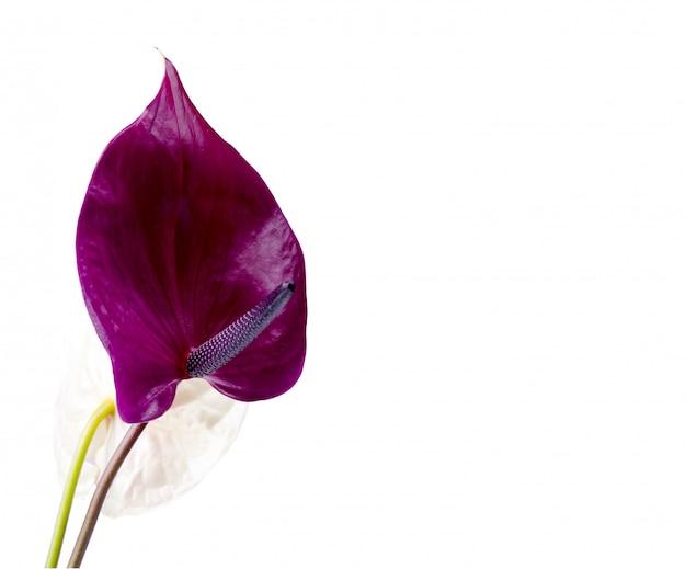 Schönes paar lila und rosa anthuriumblumen