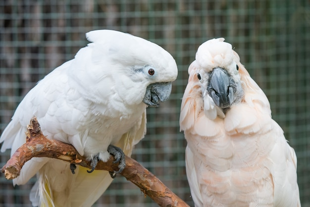 Schönes paar weiße kakadus papageien auf einem ast