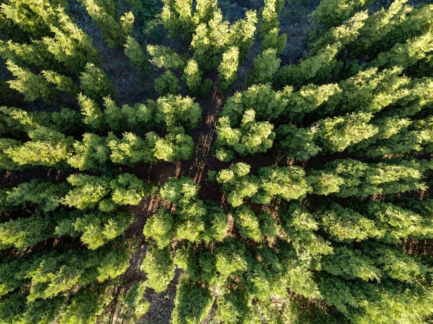 Schönes panoramafoto über den spitzen des kiefernwaldes.