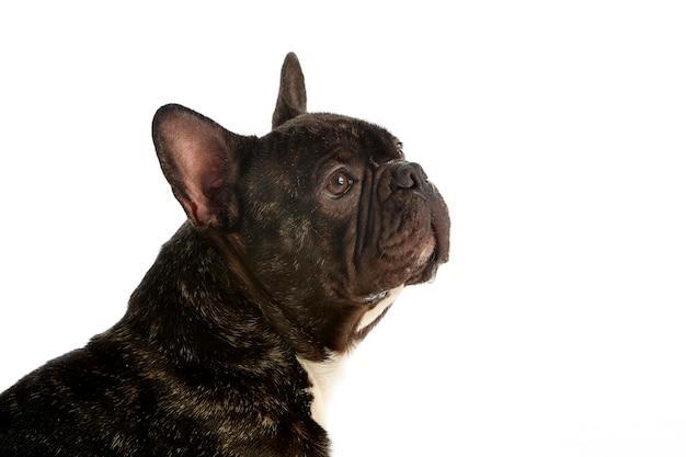 Schönes porträt einer französischen bulldogge. studioaufnahme. weißer hintergrund
