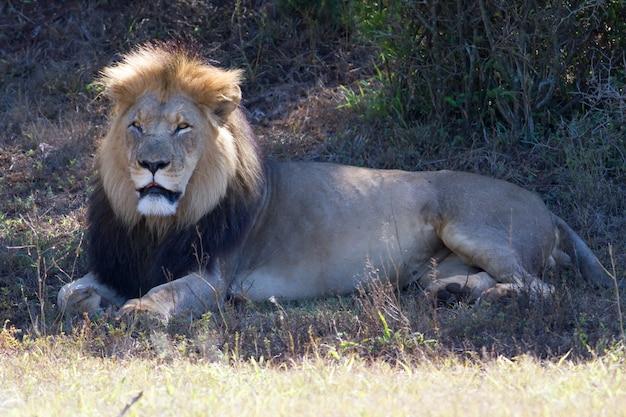 Schönes porträt eines afrikanischen löwen, der auf einem trockenen feld liegt