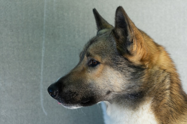 Schönes porträt eines hundes. sibirische laika. schöner husky. der hund ist der beste freund des menschen.
