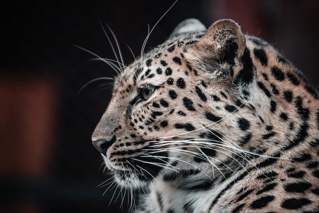 Schönes porträt eines raubtiers. leopard. männlich.