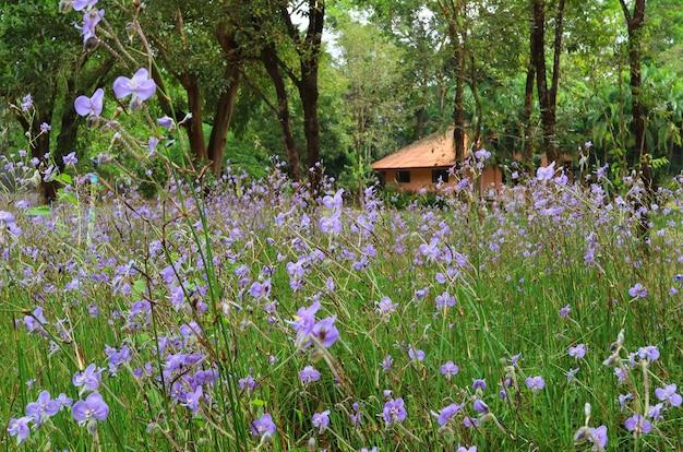 Schönes purpurrotes murdannia-blumenfeld mit einem kleinen häuschen im hintergrund, thailand