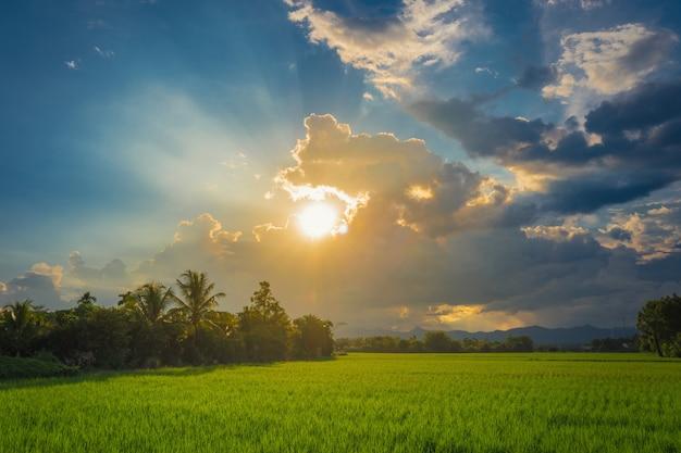 Schönes reisfeld und sonnenuntergang bei thailand.