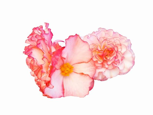 Schönes rosa begonien-blumenisolat auf weißem hintergrund.