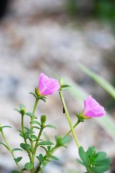 Schönes rosafarbenes common purslane, verdolaga oder pigweed, little hogweed im handel.