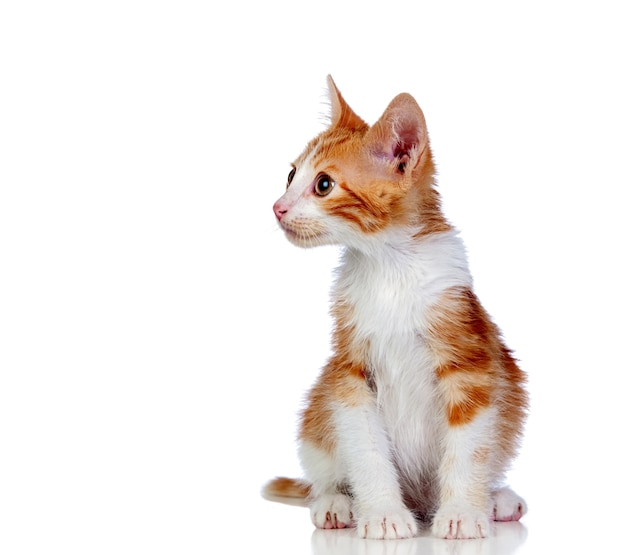Schönes rot-haariges kätzchen