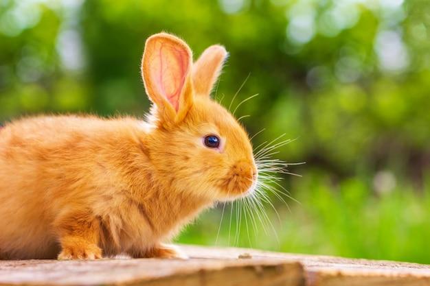 Schönes rotes kaninchen auf natürlichem grünem hintergrund