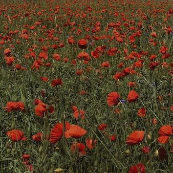Schönes rotes mohnblumenfeld. natürlicher hintergrund des sommerblumens
