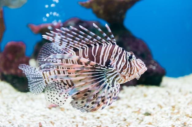 Schönes rotes portrait des lionfish (pterois meilen)