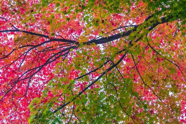 Schönes rotes und grünes ahornblatt auf baum