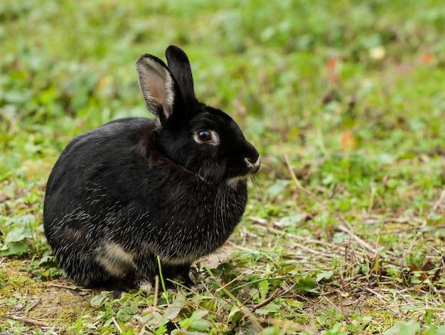 Schönes schwarzes kaninchen im wald.