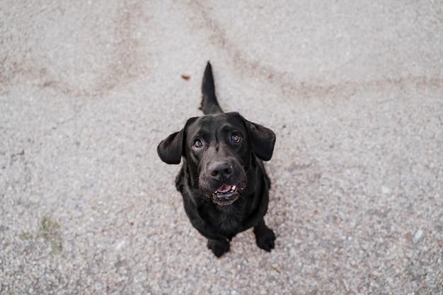 Schönes schwarzes labrador, das festlichkeiten springt und isst. spaß im freien. ansicht von oben