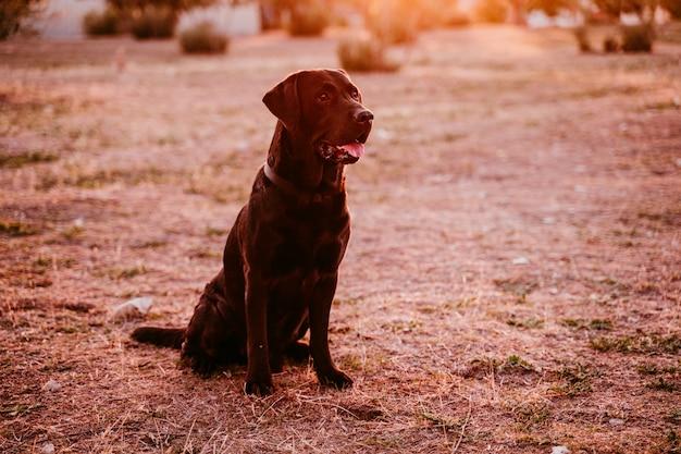 Schönes schwarzes labrador, das in einem park bei sonnenuntergang sitzt. haustiere im freien und lebensstil