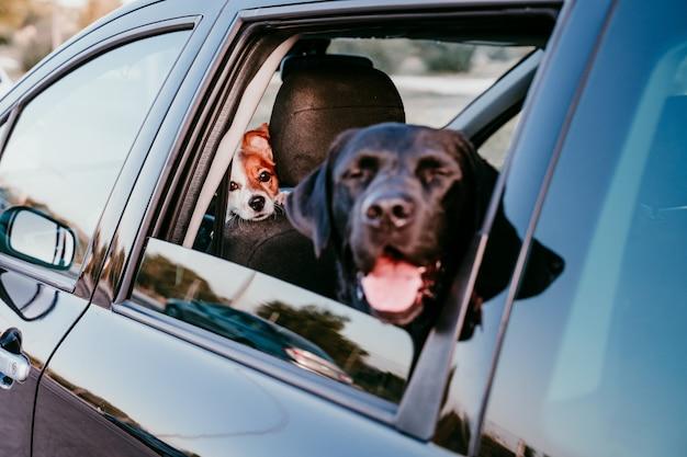 Schönes schwarzes labrador in einem auto bereit zu reisen. stadt hintergrund. beobachten am fenster bei sonnenuntergang. reise-konzept