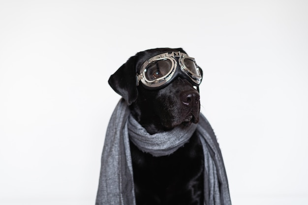 Schönes schwarzes labrador zu hause, das fliegerschutzbrillen und grauen schal trägt. reise-konzept