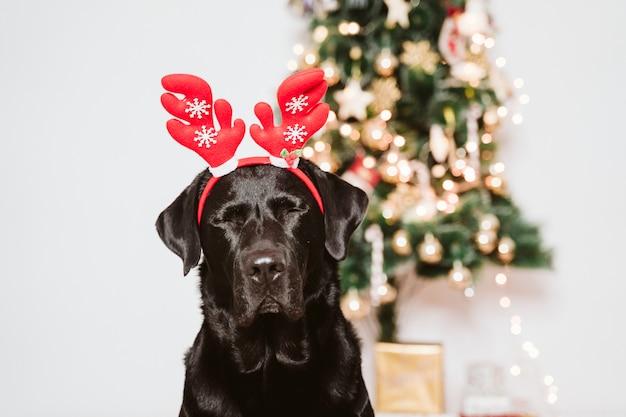 Schönes schwarzes labrador zu hause durch den weihnachtsbaum. hund, der ein lustiges sankt-diadem trägt