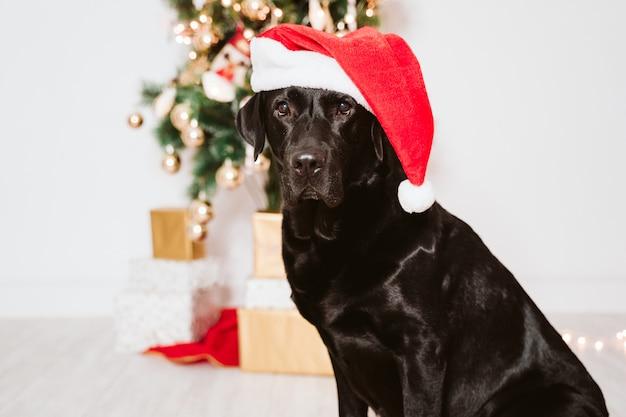 Schönes schwarzes labrador zu hause durch den weihnachtsbaum. hund trägt eine lustige nikolausmütze