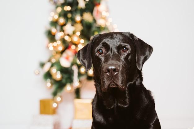 Schönes schwarzes labrador zu hause durch den weihnachtsbaum