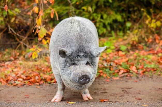 Schönes schwein. graues schwein mit nasser nase. das tier geht durch den wald. jahr des schweins. wildschwein. wildes tier. lustiges schwein