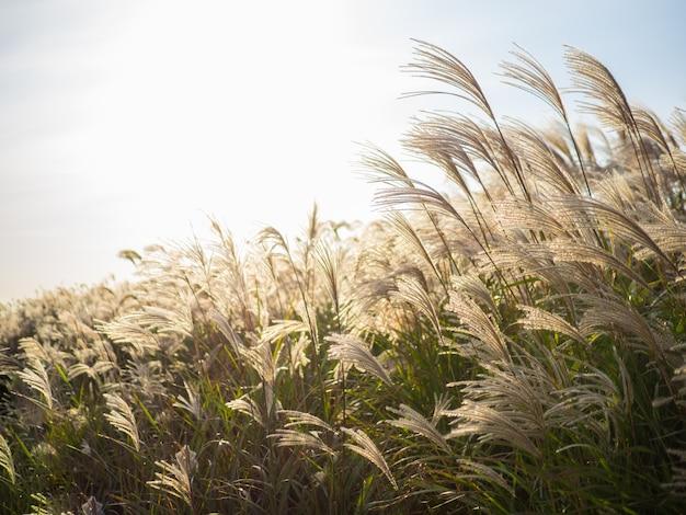 Schönes silbernes gras oder miscanthus sinensis von einer jeju-insel an korea-herbst.