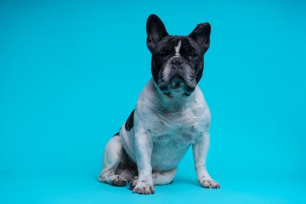 Schönes sitzen der französischen bulldogge