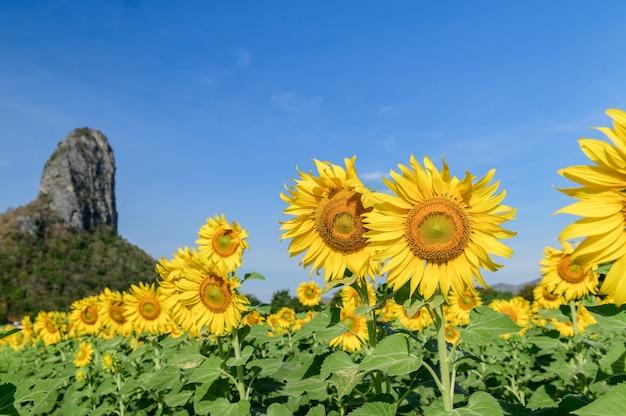 Schönes sonnenblumenfeld im sommer mit blauem himmel in der provinz lop buri, thailand