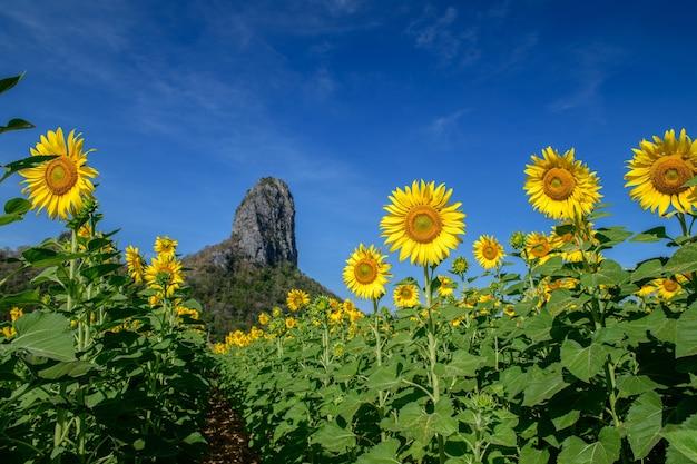 Schönes sonnenblumenfeld im sommer mit blauem himmel