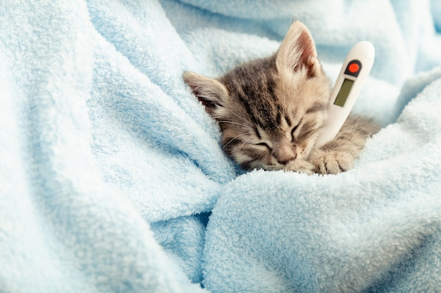 Schönes tabbykätzchen misst die temperatur durch thermometer. kleine kranke babykatze liegt im blauen plaid. tierarzt, tierklinik und tiermedizin für haustiere, katzen, tierkindergesundheitskopienraum