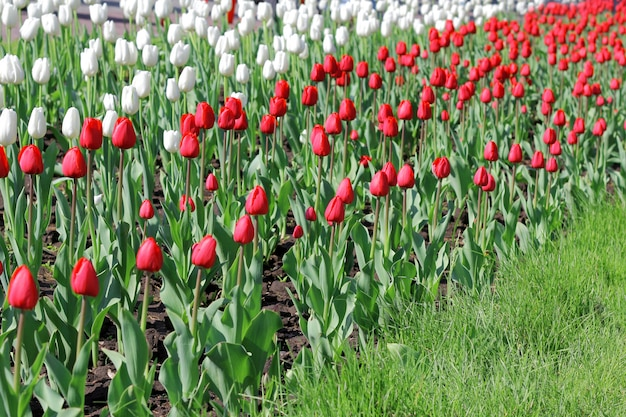 Schönes tulpenfeld im frühling