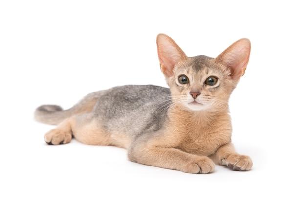Schönes und niedliches katzenporträt