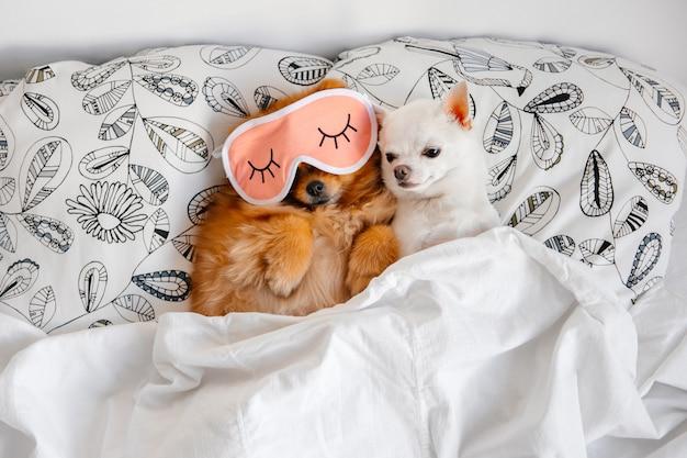 Schönes und süßes paar pommerschen welpen mit schlafmaske auf seinem gesicht mit lustigen chihuahua, die im bett unter decke entspannen