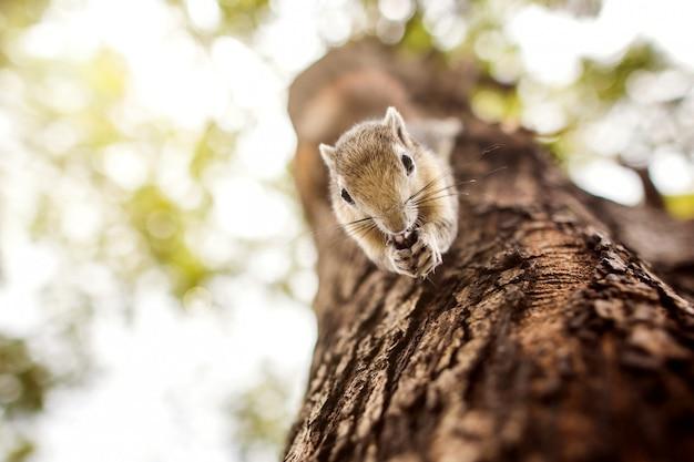 Schönes variables eichhörnchen, das etwas lebensmittel beim klettern auf einem baum in einem wald findet