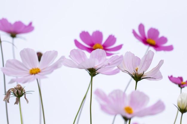 Schönes weiches rosa und weißes kosmosblumenfeld des selektiven fokus blüht feld