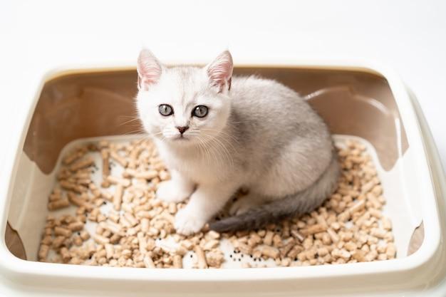 Schönes weißes kätzchen der schottischen rasse sitzt in der katzentoilette und trainiert das kätzchen zur toilette.