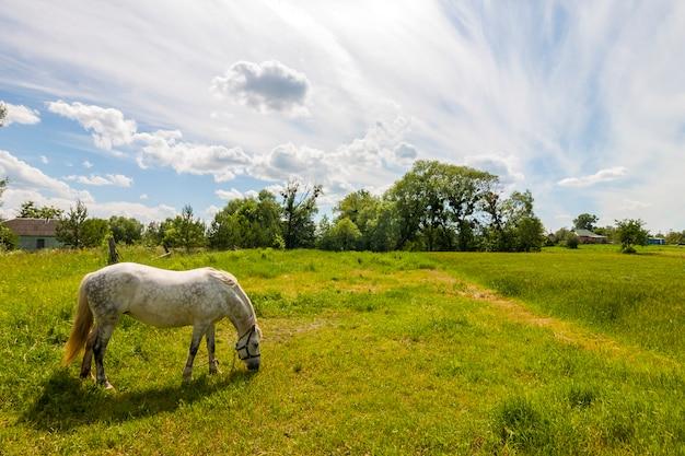Schönes weißes pferd auf weide mit grünem gras